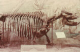 Short-legged rhinoceros skeleton